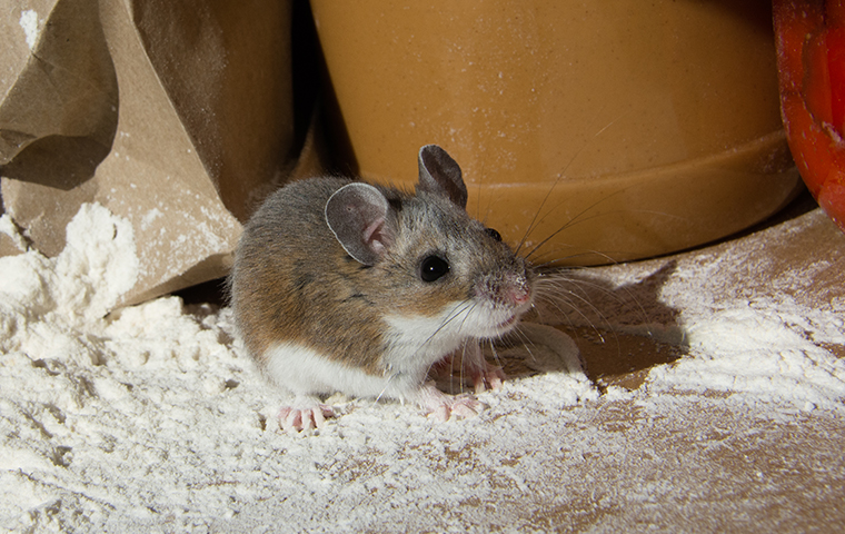 a mouse eating food in a home in buda texas