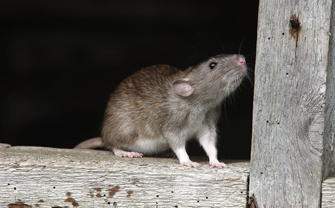 rat on a wooden fence in a helotes tx yard