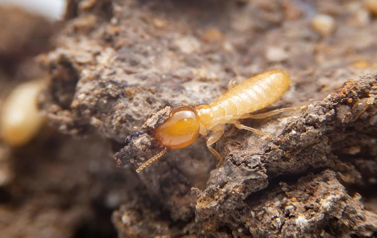 termites on wood in san antonio tx