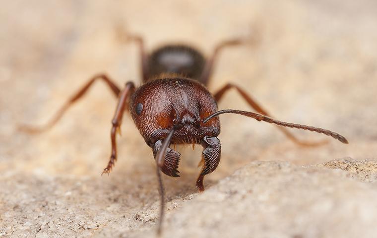carpenter ant on rock