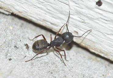 a carpenter ant crawling along wall in home