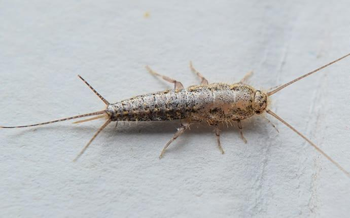 a silverfish crawling on a kitchen counter in prosper texas