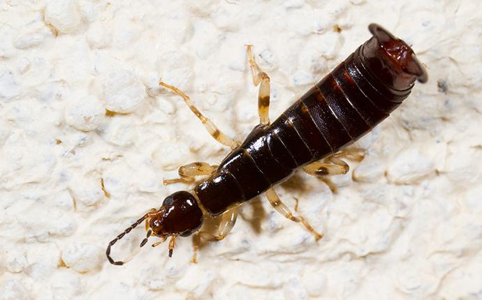 close up of a ring-legged earwig