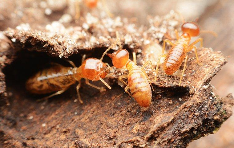 termites up close in arlington tx