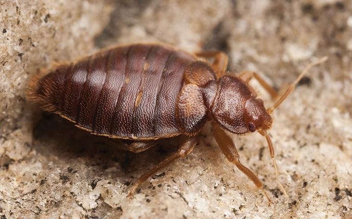bed bug near home in aiken sc