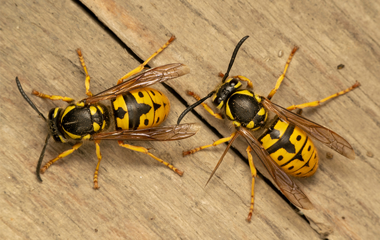 to yellow jackets on top of a picnic table