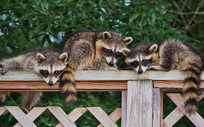 three little raccoons on a fence