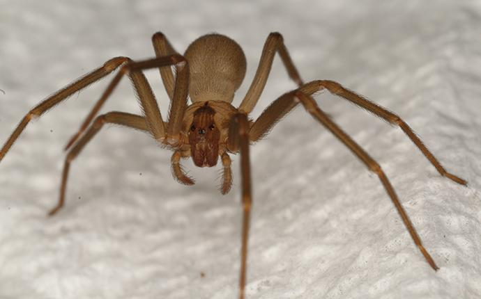 a brown recluse spider on a paper towel