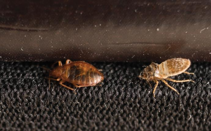 two bed bugs under a bed in blackville sc house