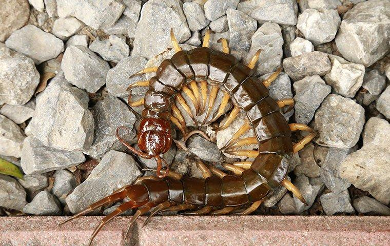 an up close image of a centipede on rocks outside a home