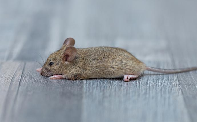 a little house mouse laying on a wood floor