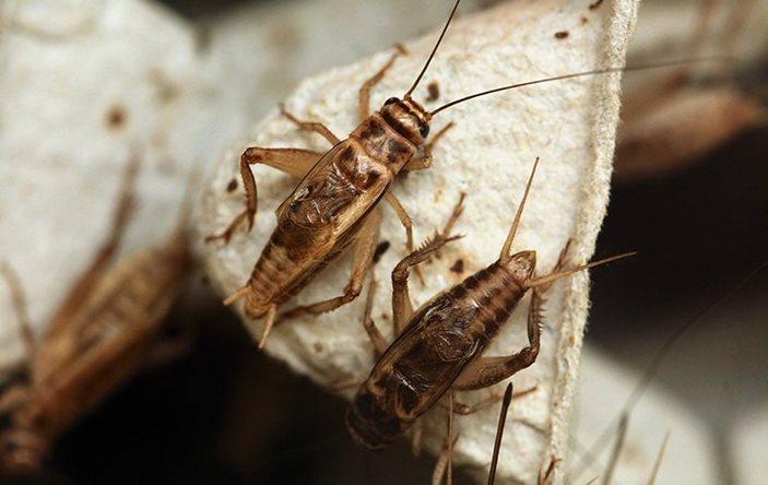 House crickets on an egg carton.