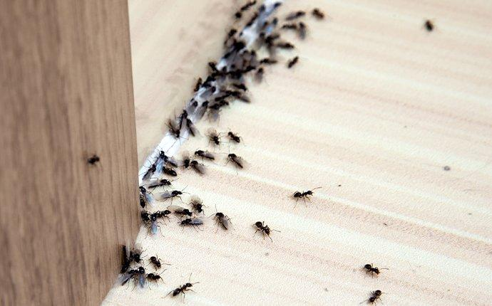dozens of ants in a kitchen