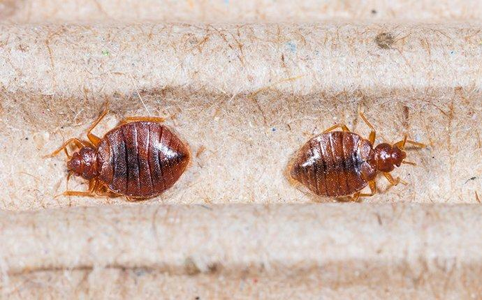 bed bugs on a headboard