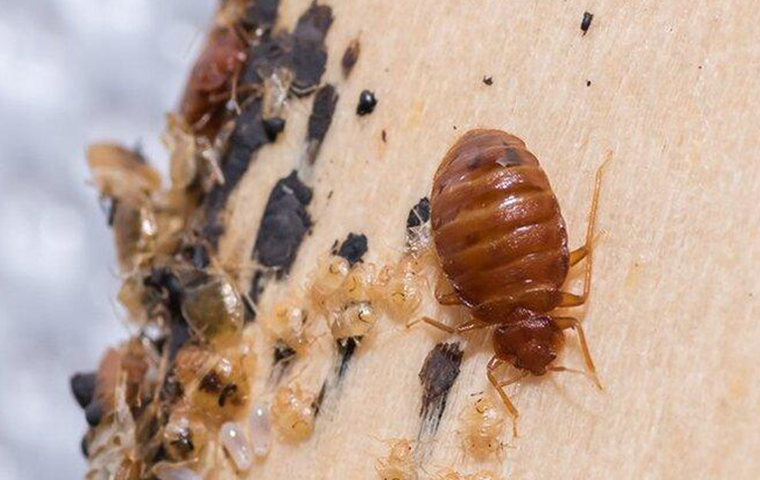 a bed bug crawling on a boxspeing covered in larva