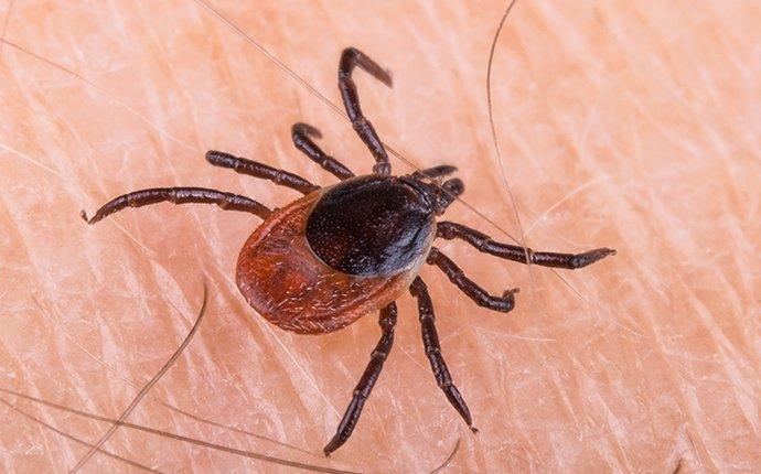 black legged tick on skin