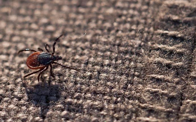 blacklegged tick on brown fabric