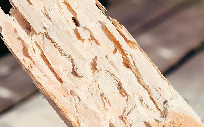 wood that has been damaged by powder post beetles