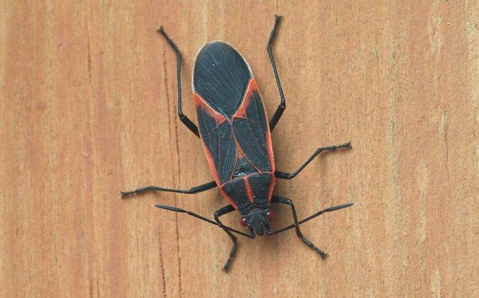 a box elder bug crawling on house siding