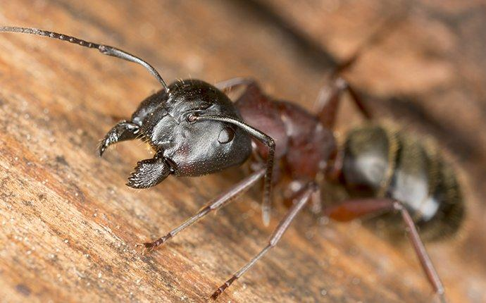 carpenter ant crawling on a wooden table