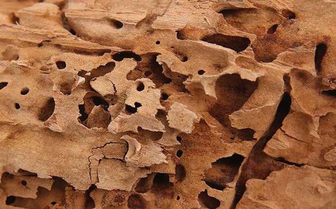 wood damaged from carpenter ants