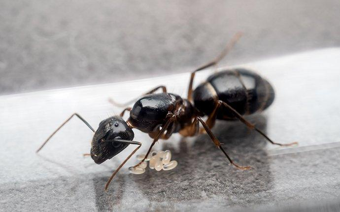 a carpenter ant crawling in the kitchen