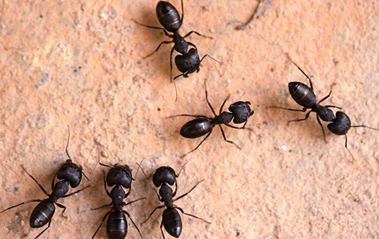 carpenter ants in aiken home
