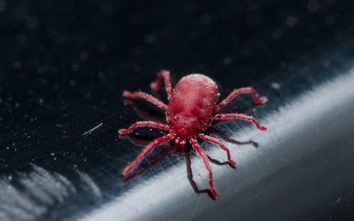 a clover mite crawling on a kitchen surface