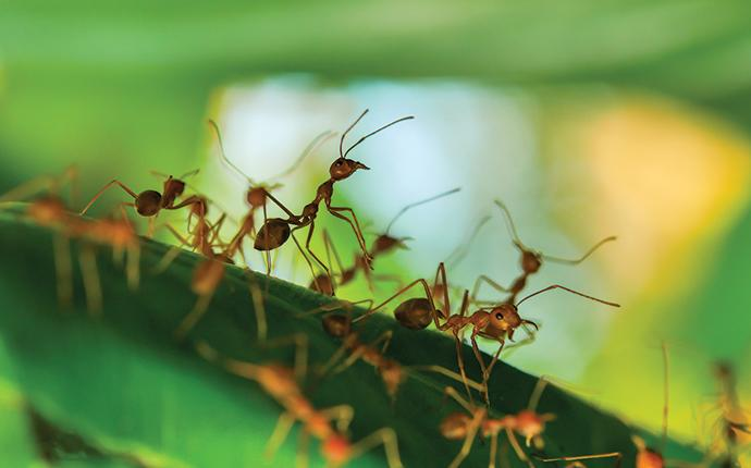fire ants in the grass on a lawn