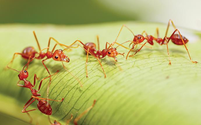 fire ants up close on a leaf