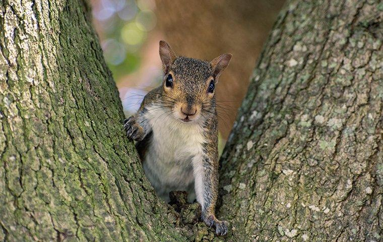 a gray squirrel sitting in a tree