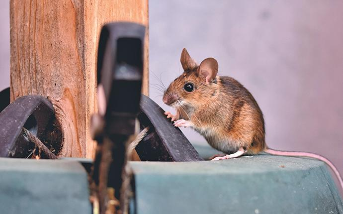 a house mouse on patio furniture