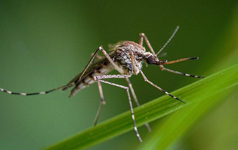 an up close image of a mosquito that landed on a blade of grass