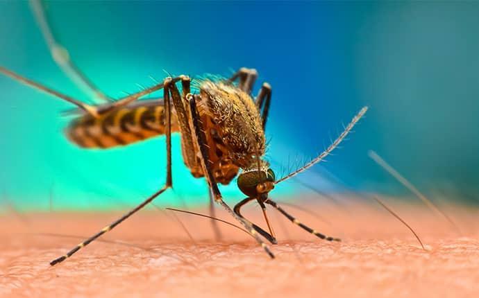 an aiken mosquito biting human skin
