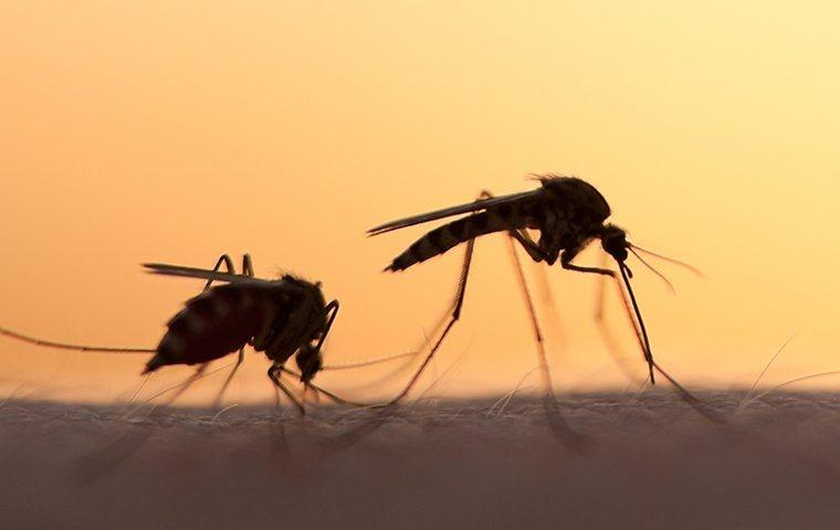 mosquitoes biting an aiken residents skin