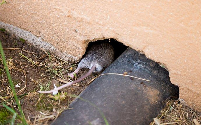 a mouse crawling inside house