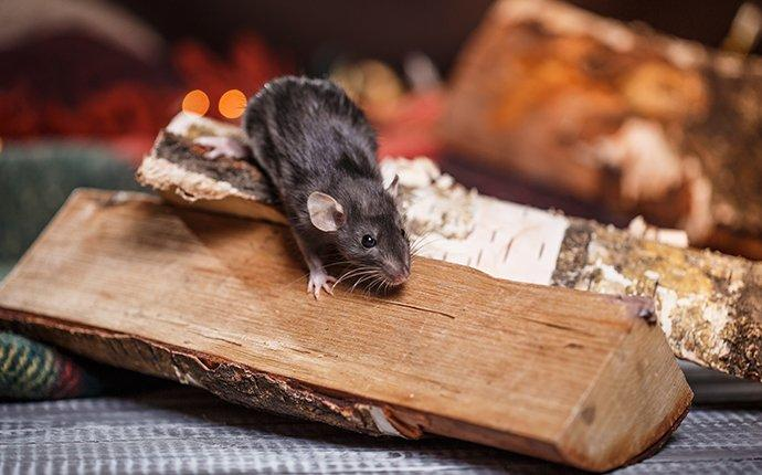 mouse in the house in winter near fireplace
