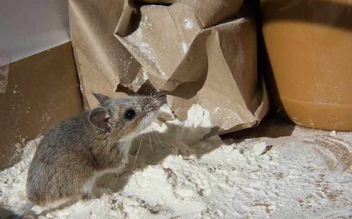 a mouse eating flour in a kitchen pantry
