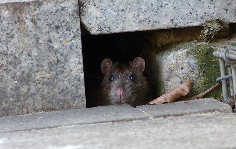 norway rat coming out of hole
