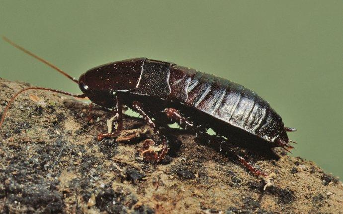 an oriential cockroach on a rock