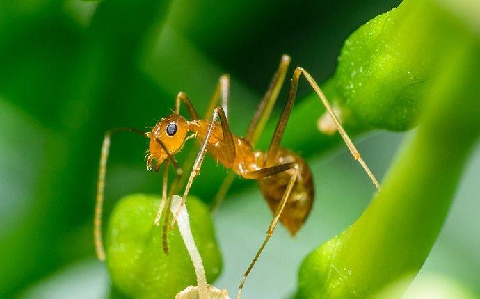 a pharoh ant on a plant