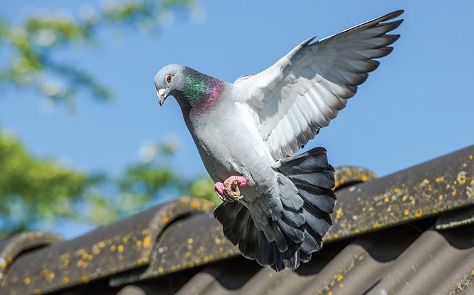 a pigeon landing