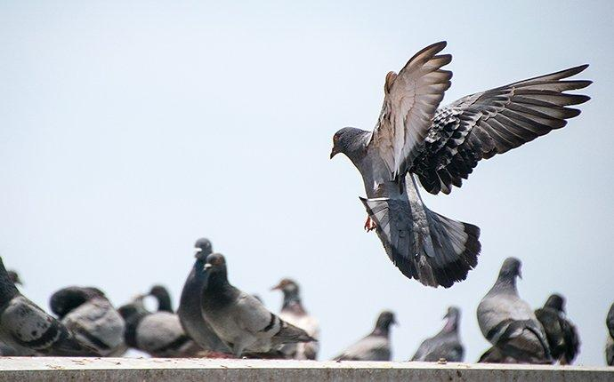 pigeon landing on a roof with a group of pigeons