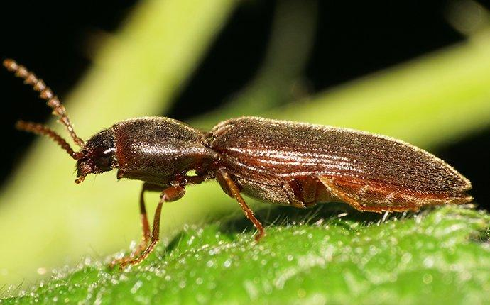 a powderpost beetle crawling on a leaf in the garden