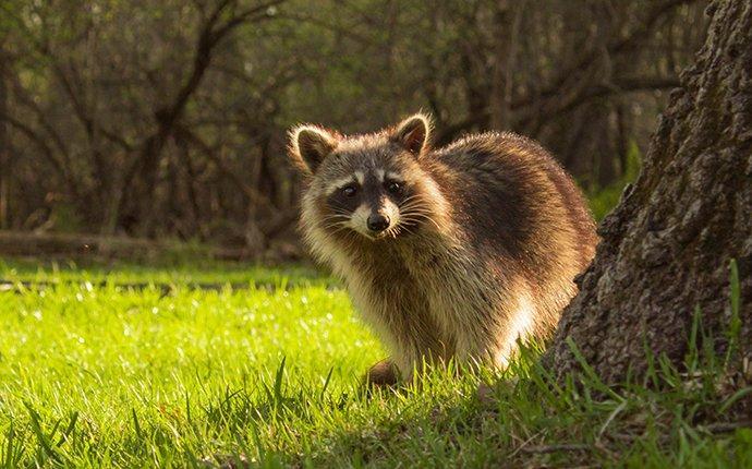 a raccoon in a yard near a tree