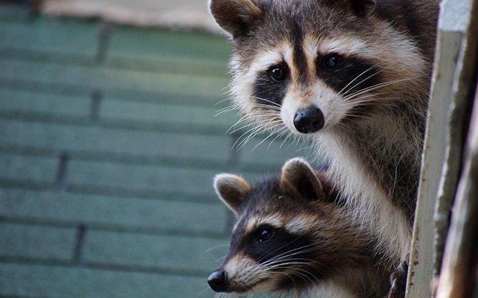 raccoons peeking over a house roof