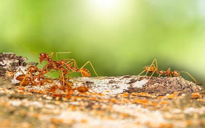 red fire ants crawling on an anthill