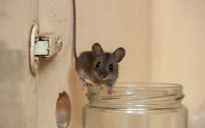 a house mouse in a kitchen cupboard