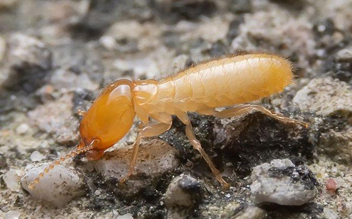 single termite on the ground