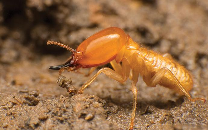 a termite soldier up close